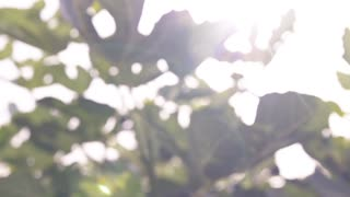 Photosynthesis in nature. The sun shines on the leaves of the trees. Slow-motion shooting, dolly shot, macro
