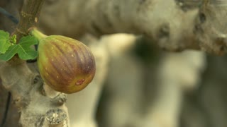 The harvest of the figs in third world countries . Close-up cutting
