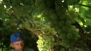 Winemaker picking grapes for white wines. European wine industry . Slow motion, dolly shot