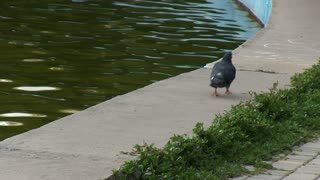 Dove walks in the park, stops, cleans feathers. Near the water.