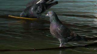 Portrait. Doves drink water and bathe. In urban spaces. A park. Slowmotion
