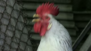 Portrait. The white cock gives a voice of alarm. Morning. Wake up everyone. New day. Enable audio track slowmotion