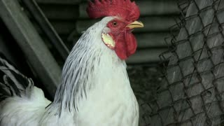 Portrait. The white cock gives a voice of alarm. Morning. Wake up everyone. New day. Enable audio track