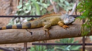 big iguana in zoo at Tenerife
