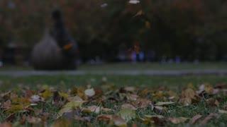 Autumn autumn leaves on green grass. Autumn leaf fall in season