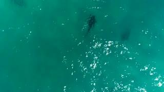 Aerial Footage of Sharks Near Shoreline in Juno Beach, Florida