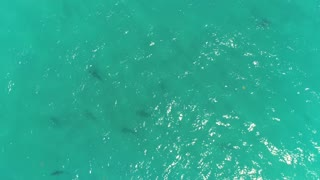 Aerial Footage of Sharks Near Shoreline in Juno Beach, Florida