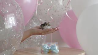 Birthday gifts, holiday hamster