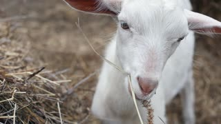 Funny Black Goat Looking at Camera Stock Video Footage - Storyblocks Video