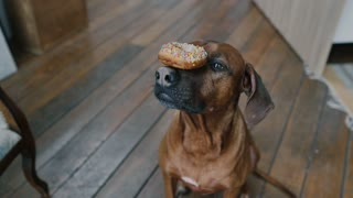 """The dog performs commands """"Delicacy on the nose"""""""