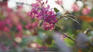 4k beutiful spring flower cherry or sakura tree branch blossom sunset background