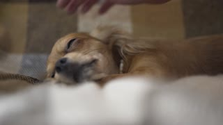 adorable funny dog chihuaha sleeps on plaid, a person's hand strokes a sleepy pet