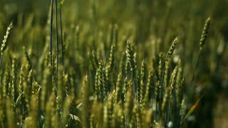 Closeup view of woman's arm walking on wheat field