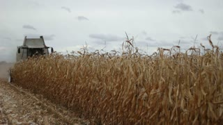 Combine harvester gathering maize corn