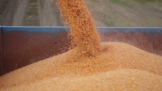 Combine harvester unloads maize corn into trailer