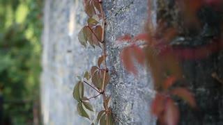 Red grape vine branch climbs brick wall