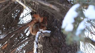 Red squirrel eating pine tree seeds in winter