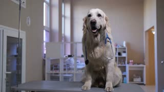 Beautiful adult male golden retriever dog sitting on examination table at modern pet care clinic with stethoscope around neck. Dolly shot. Animal healthcare concept. Pet health checkup and treatment