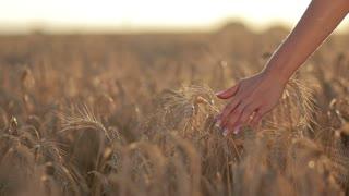 Calm woman walking throung wheat field at sunset