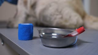 Closeup blood samples lying on examination table while vet doctor applying bandage to retriever dog's paw at animal healthcare clinic. Blood test analysis of pet patient at veterinary clinic