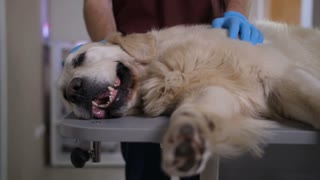 Closeup of sick labrador dog lying on examination table at pet care clinic, breathing hard, while vet doctor's hands in gloves stroking and caressing ill animal. Pet healthcare concept