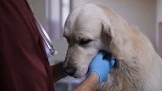 Closeup shot of vet doctor's hands in gloves checking dog's teeth at pet care clinic. Veterinarian performing dental health check of adult male golden retriever on examination table