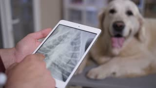 Closeup vet hands holding digital tablet pc and looking at dog patient's x-ray on touchpad screen. Golden retriever lying on examination table on background. Veterinarian checking x-ray results