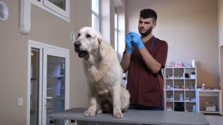 Cute adult golden retriever during visit at veterinary clinic. Bearded male vet taking a syringe with needle and injecting dog with vaccine during annual vaccination at pet care hospital