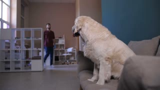 Cute labrador dog sitting on sofa at animal care clinic, young male veterinarian approaching and greeting his beautiful golden retriever patient, asking to give him a paw