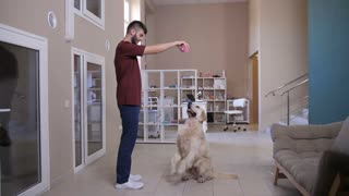 Full length of young vet specialist playing with golden retriever at pet care clinic. Dog sitting pretty on hind legs begging for rubber toy to play. Veterinarian professional checking dog reflexes