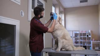 Male veterinarian in uniform and gloves performing dental health check of his dog patient at pet care clinic. Cute golden retriever sitting on examination table while vet doctor checking teeth