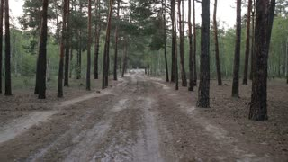 Rural dirt road among pine forest in summer