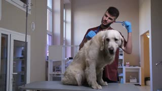 Young handsome bearded vet doctor putting on stethoscope and listening to retriever's heartbeat at veterinary clinic. Cute adult dog sitting on the table while veterinarian checking breath and heart