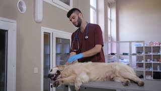 Young handsome bearded vet doctor stroking and caressing sick retriever dog, lying on examination table at animal care clinic. Beautiful unwell golden retriever getting treatment from veterinarian