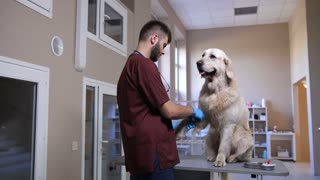 Young vet doctor bandaging his animal patient after drawing blood sample at veterinary clinic. Cute golden retriever sitting on table while veterinarian applying bandage on his paw at pet hospital