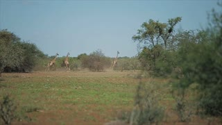 A flock of giraffes runs one after another across the field on a sunny day in Africa. Animals in wild nature.