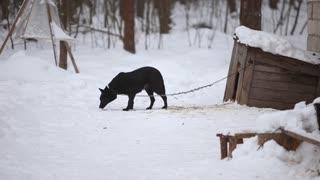 big scary black dog barking Doberman attacks Stock Video Footage -  Storyblocks Video