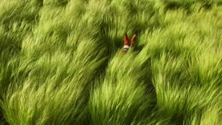 Little basenji dog pet runs around the field full of tall green wheat, in search of his owner, lost but not scared he is jumping around trying to see far away