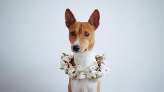 Sad and emotional cute little pup of rare basenji breed, poses patiently to his owner and looks into camera, while moving his ears waiting for orders, on white wall or dog expo