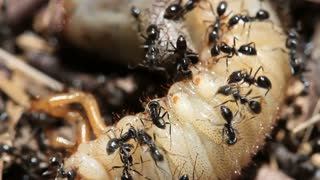 Ants vs Beetle grub