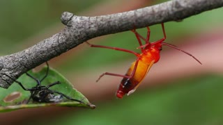 Assassin Bug Insect Molting 3