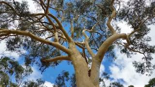 Australian Eucalypt Gum Tree Plant