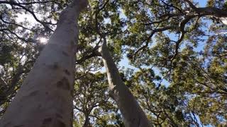 Australian Eucalyptus forests and native vegetation.