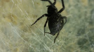 Black House Spider spinning slik web