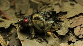 Black Prince Cicada Eaten by Ants 1