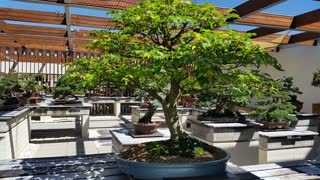 Bonsai: This small green bonsai tree located in a bonsai garden is a Japanese art form using miniature trees grown in containers. The Japanese tradition dates back over a thousand years.