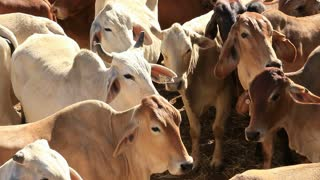 Brahman Beef Cattle Cows Sale Yard Pens