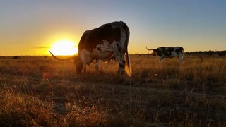 Cattle cow farming Texas Longhorn sunset / sunrise landscape