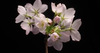 Cherry flowers blossom bud growing time-lapse