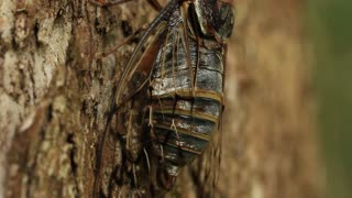 Cicada calling / singing on tree